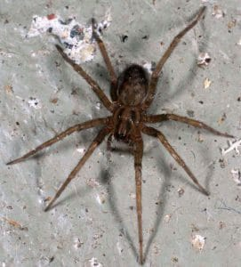 Tegenaria_domestica_barn_funnel_weaver_domestic_house_spider